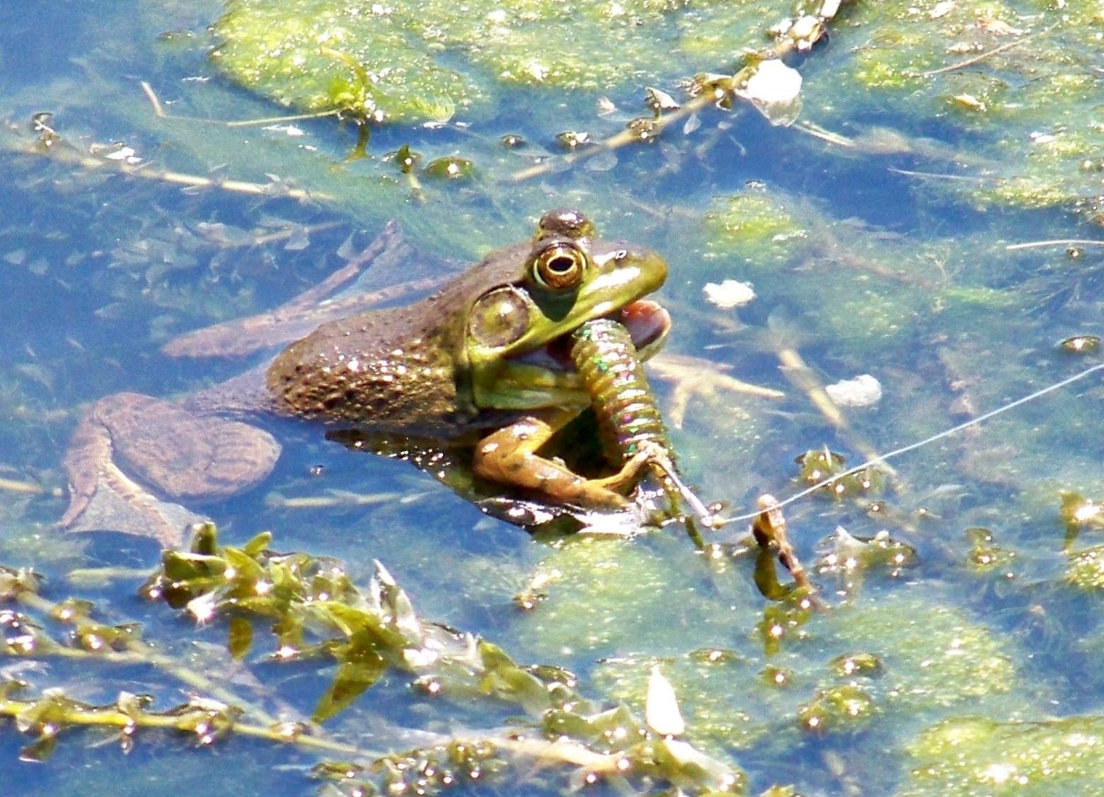 Frog water Italian Slough