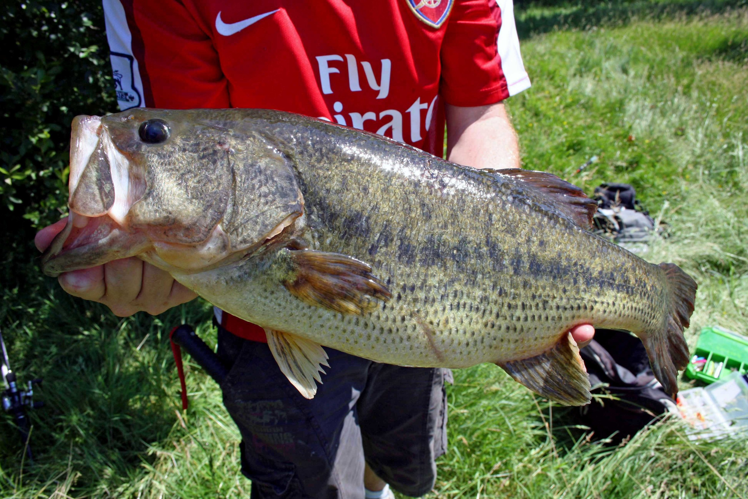 """A closer look at the urban lunker. This is my personal best largemouth bass from an urban pond. Estimated length from photograph is roughly 24""""."""