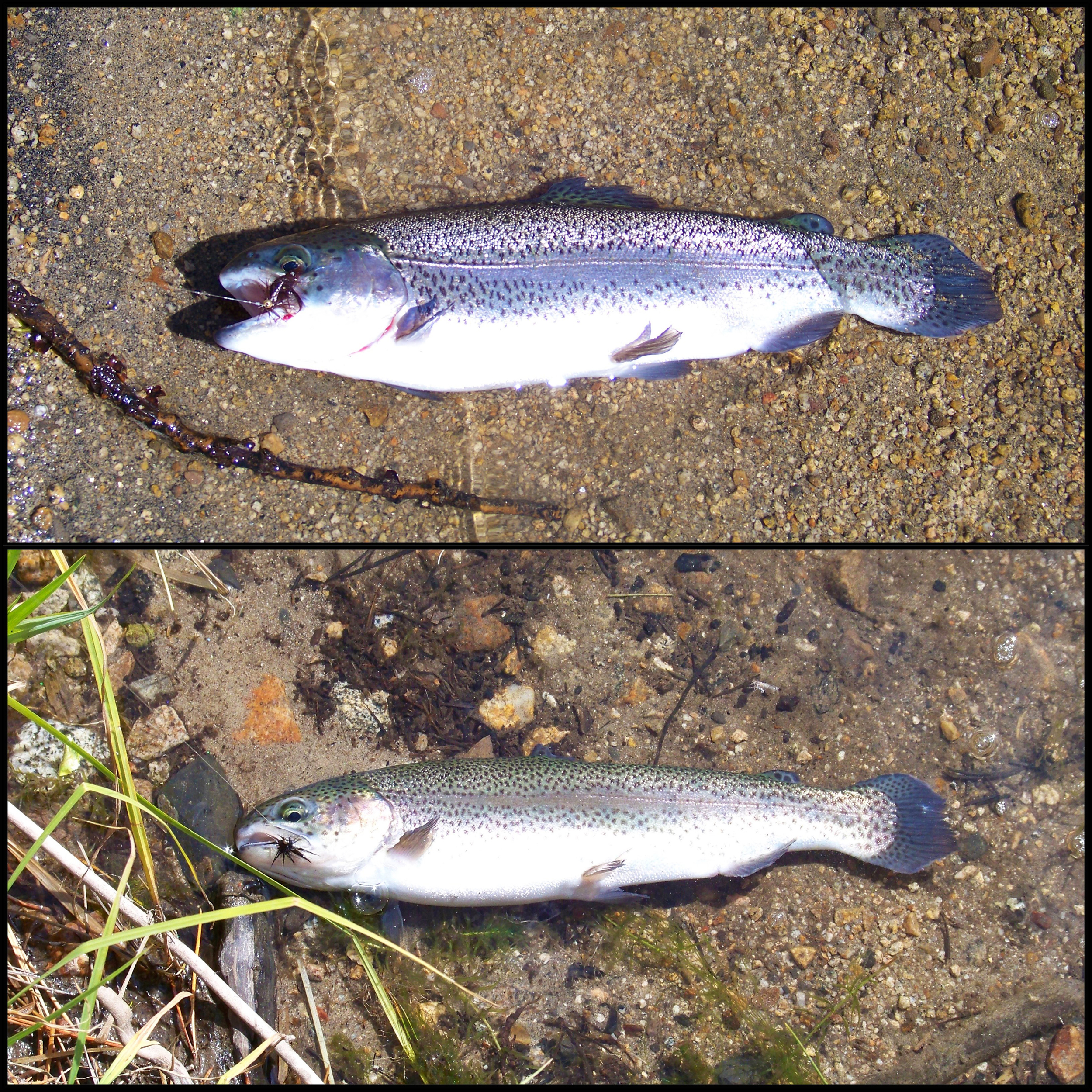 Two beautiful Mammoth Lake's Rainbow Trout, fooled with the Float and Fly