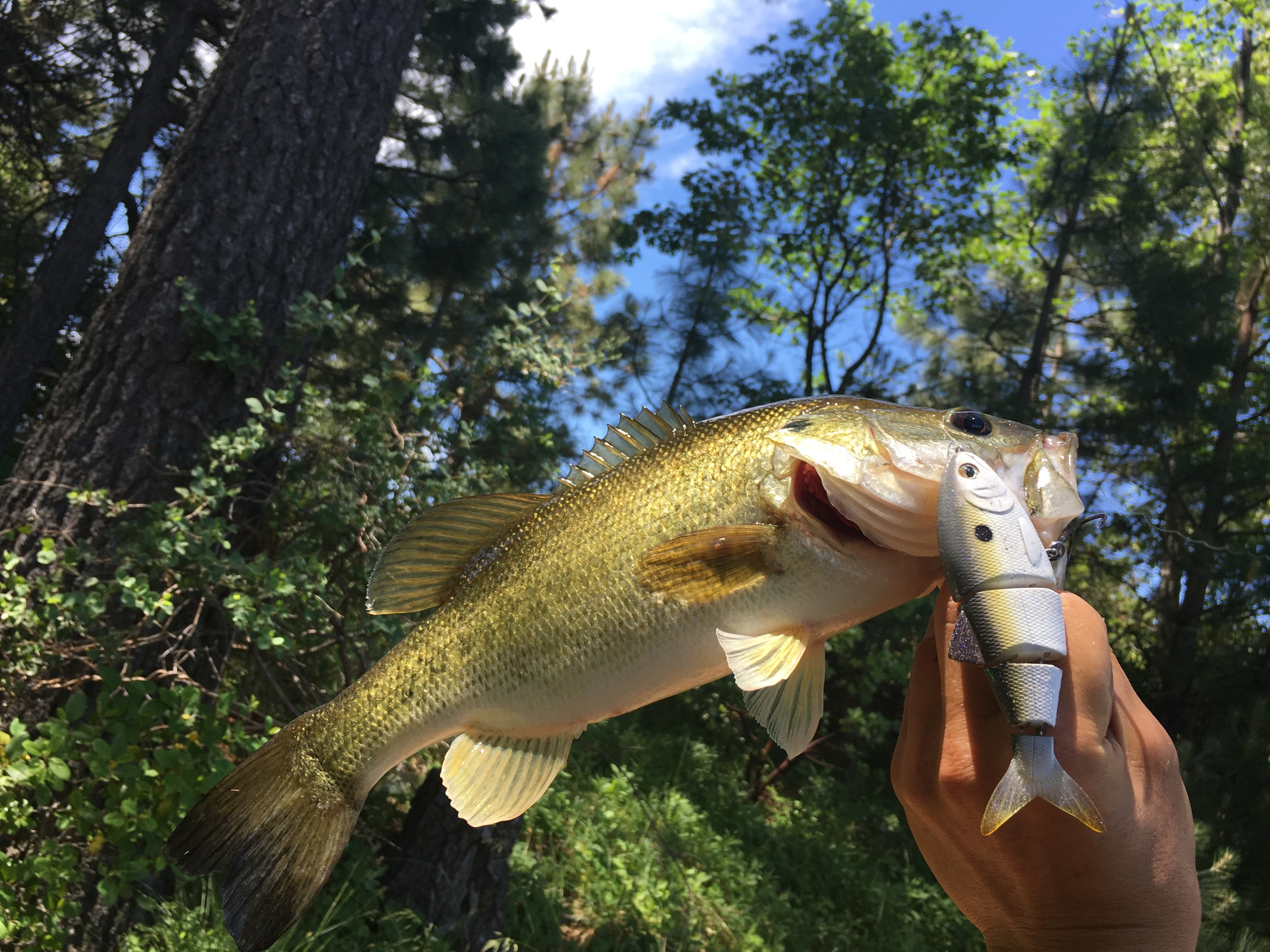 """Here is a scrappy male bass the hammered the SPRO BBZ-1 4"""" that was protect bass fry"""