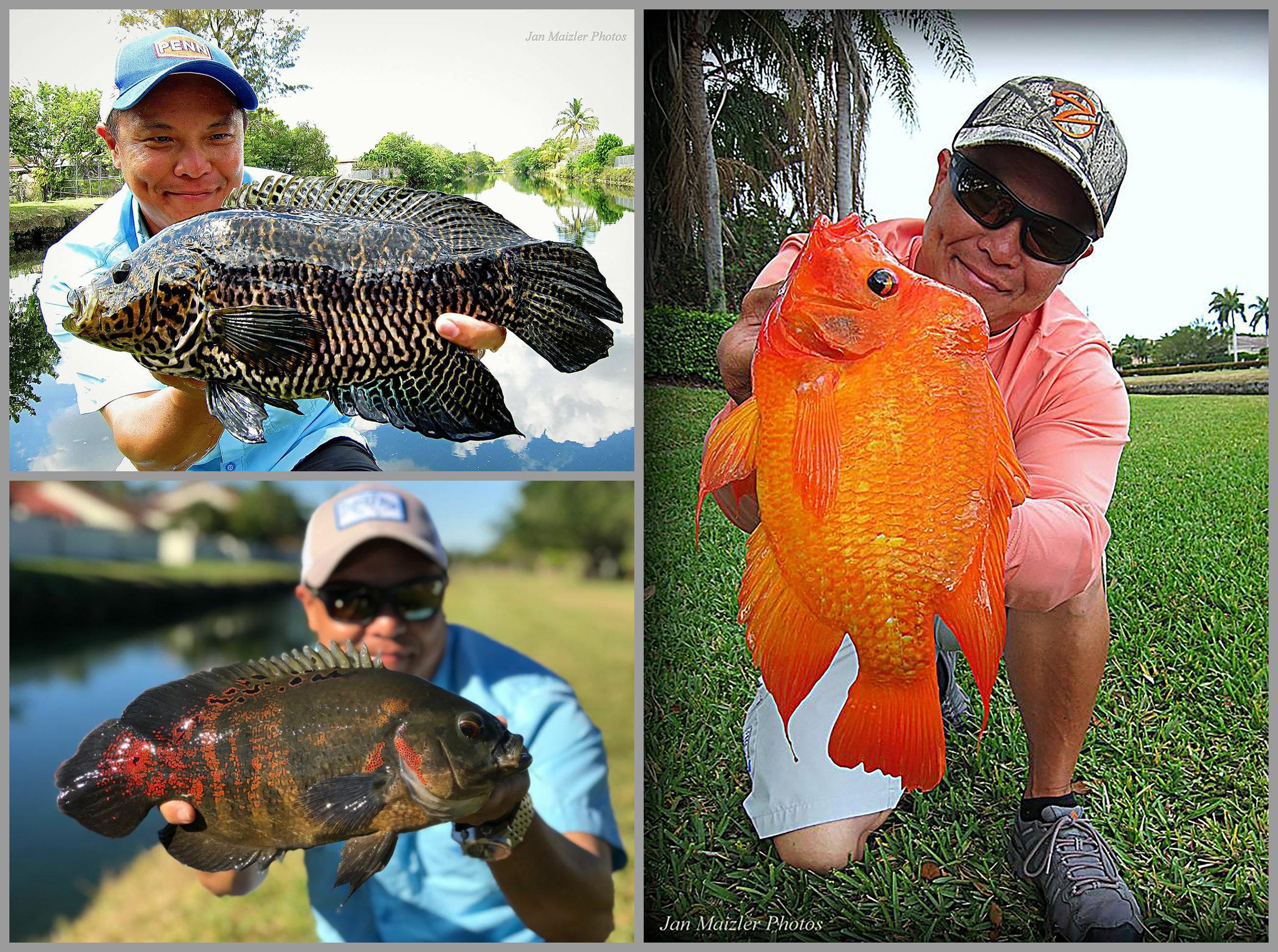 Top left - Jaguar Guapote image by Jan Maizler, Right - Midas cichlid image by Jan Maizler, Bottom left – Tiger Oscar cichlid.