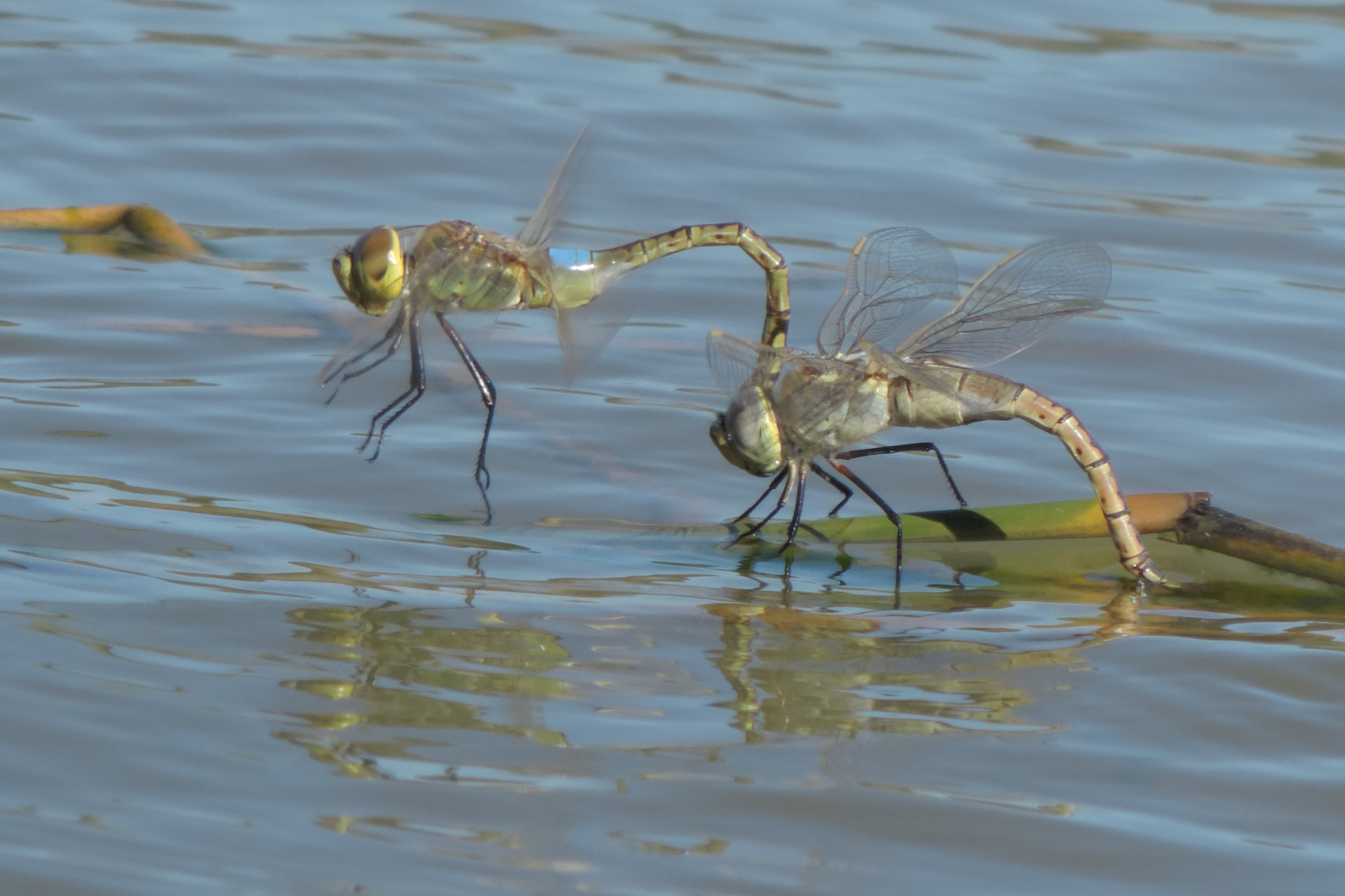 There were a lot of dragonflies around, and my wife Zainab amused herself with taking beautiful shots of them.