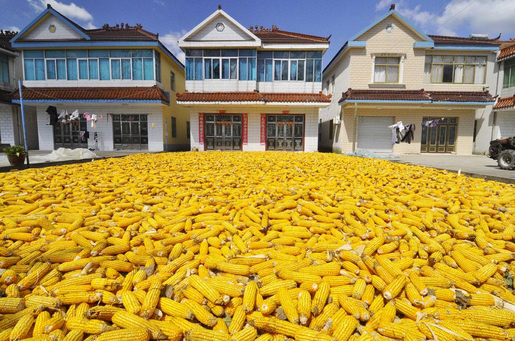maize reduced.jpg