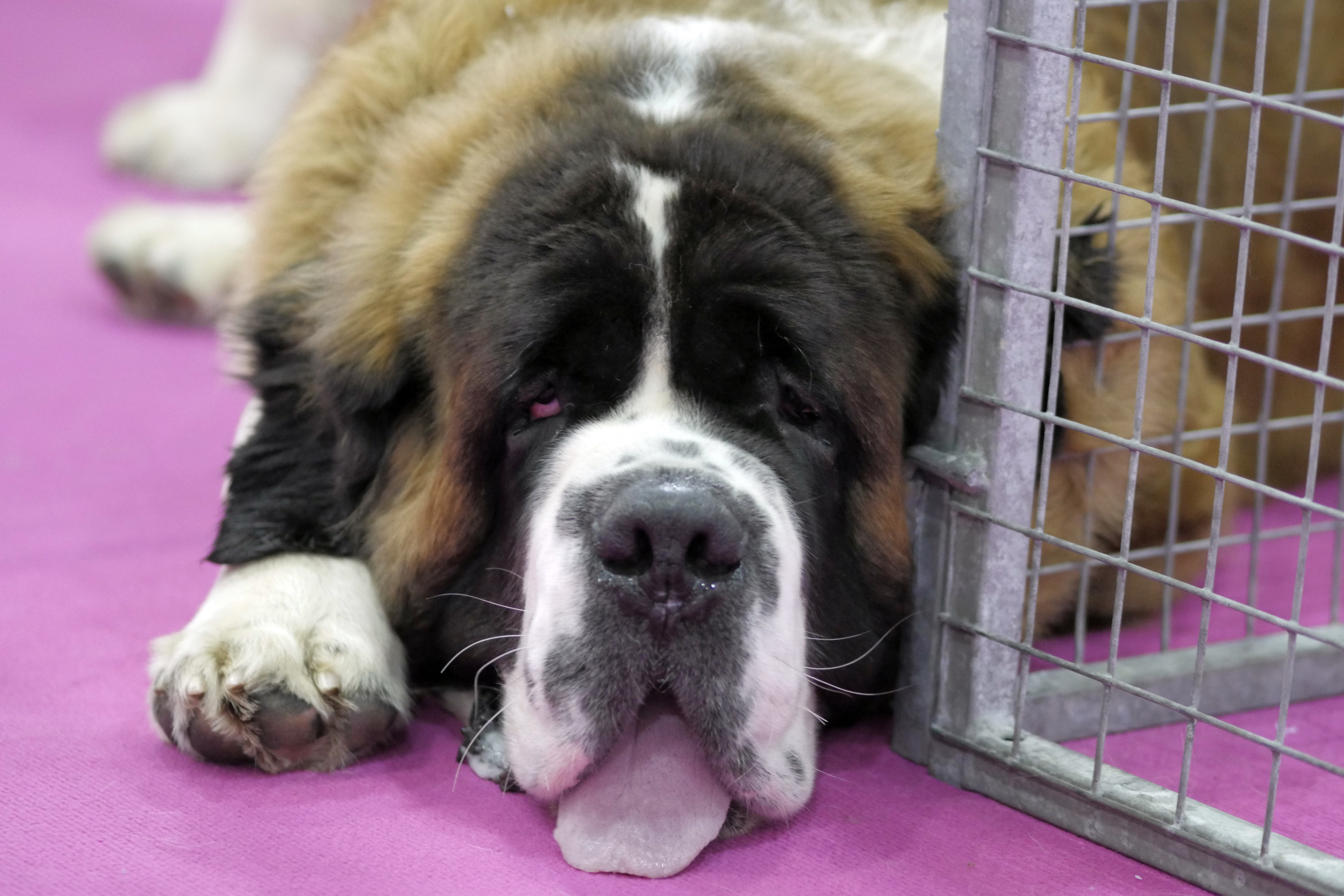 St Bernard exhausted after a long cuddly day