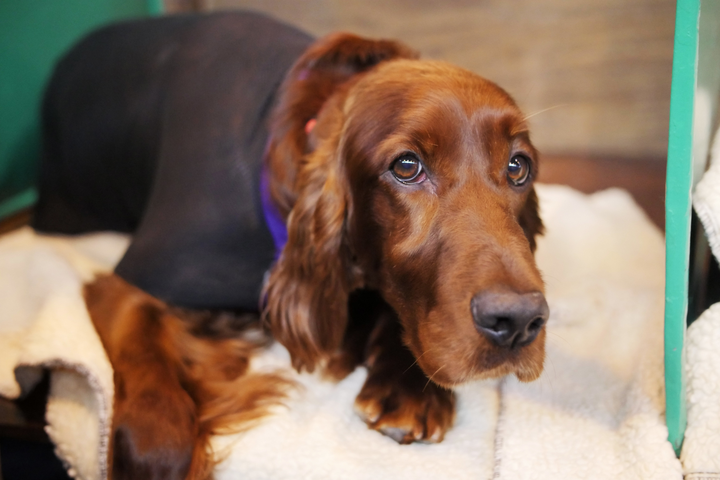 Irish setter trying to lure me into setting him free -with those big eyes