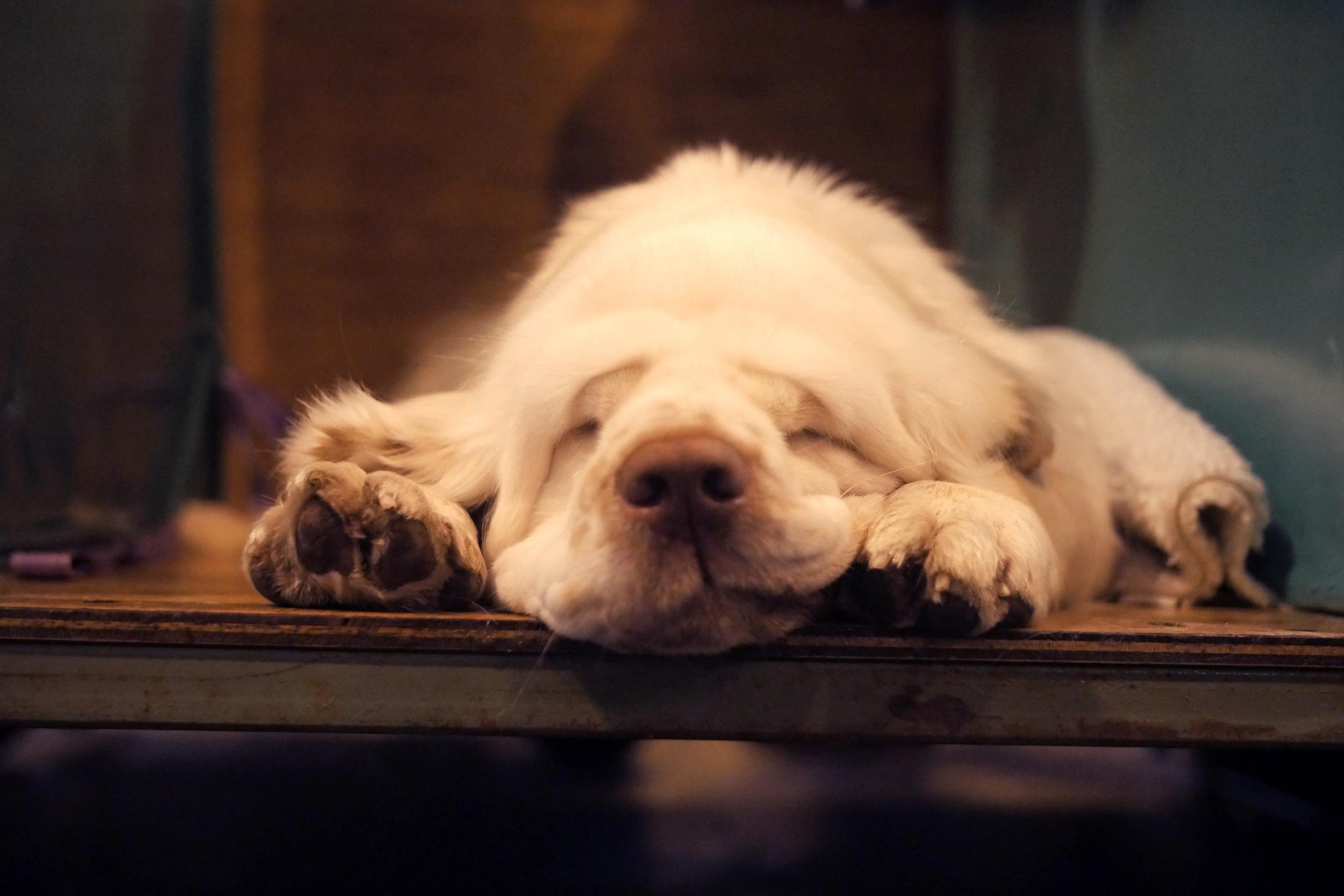 A clumber spaniel also enjoying some serious nap time.