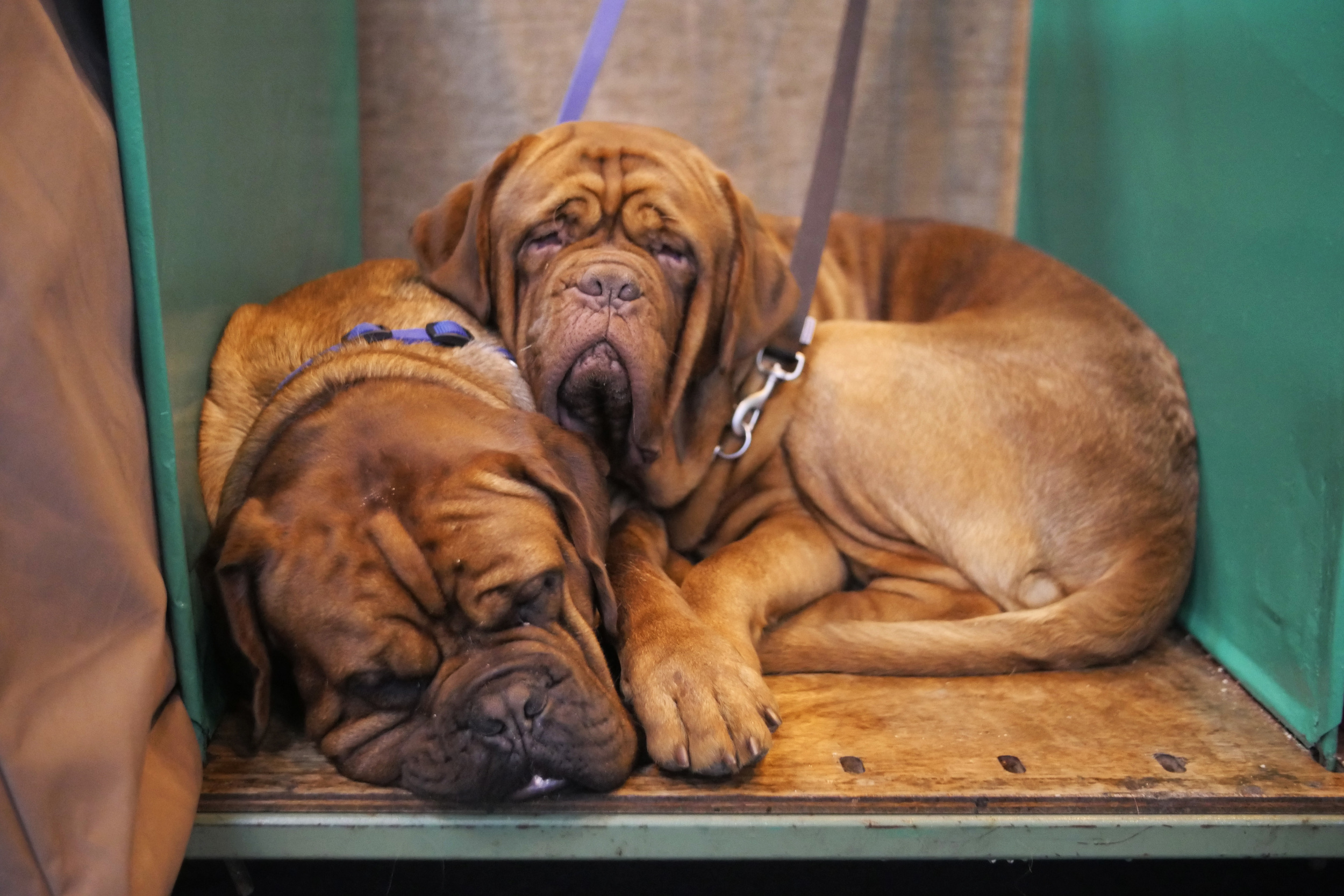 Naps are better when there's someone else to share them with! Especially when you're as huge as a dogue de Bordeaux.