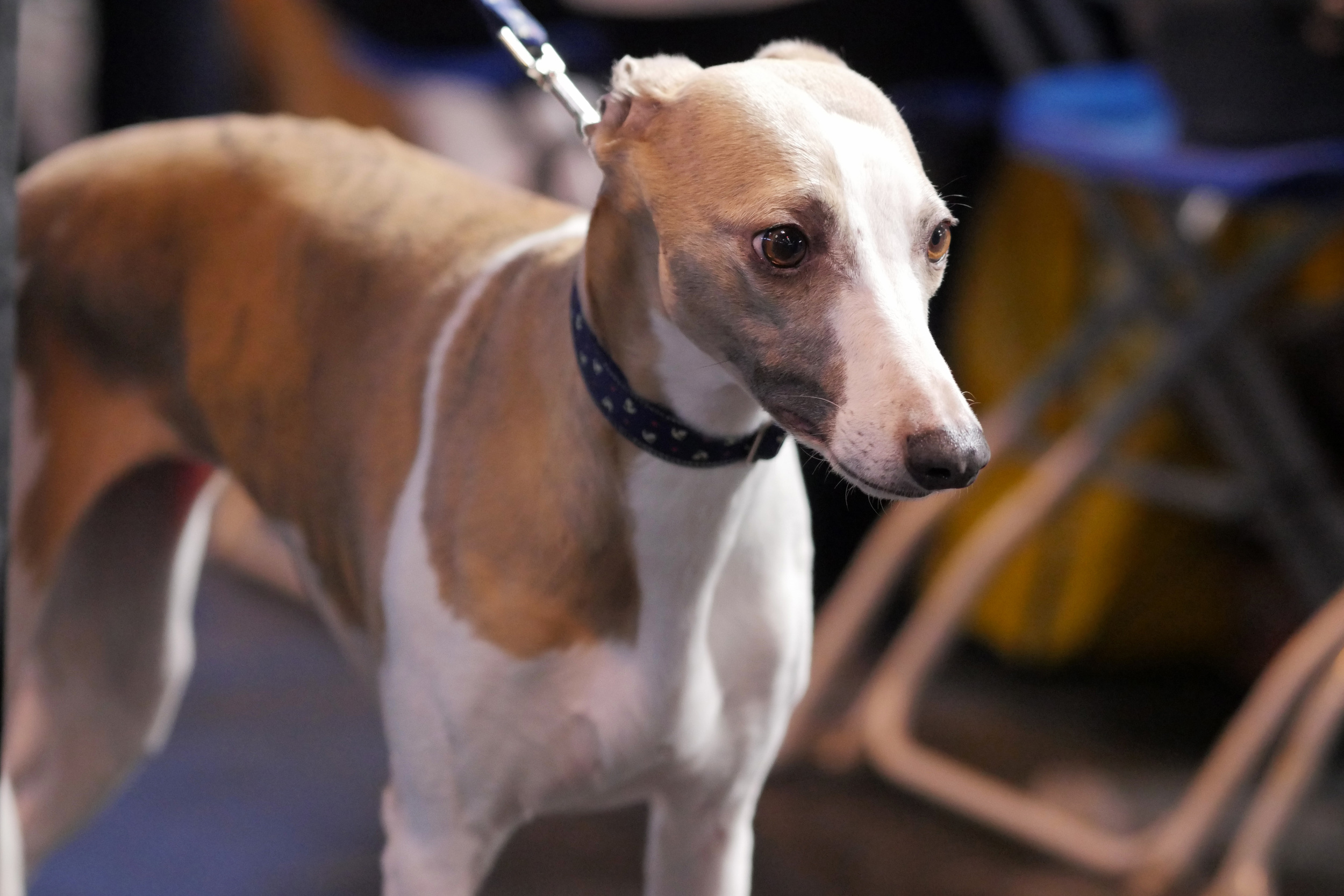 A whippet looking as desperate as ever :)