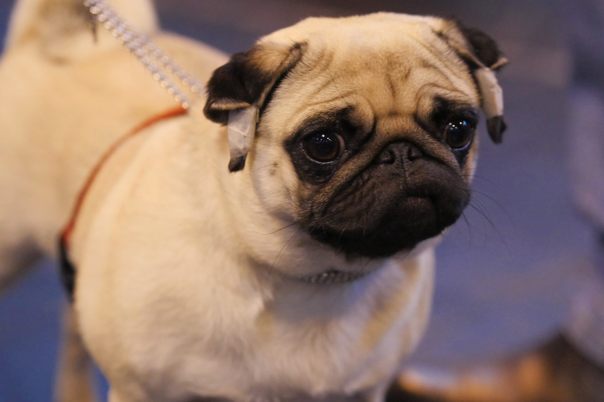 And finally the pug - one of the most popular breeds in the UK!