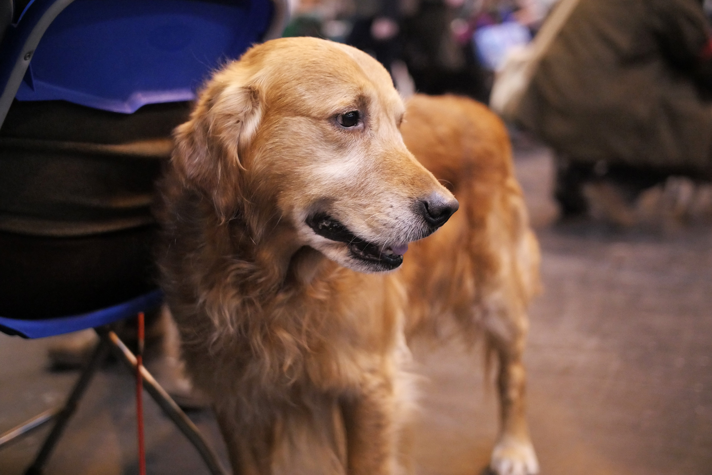 Amazingly cute golden retriever posing for the camera near one of the show rings.