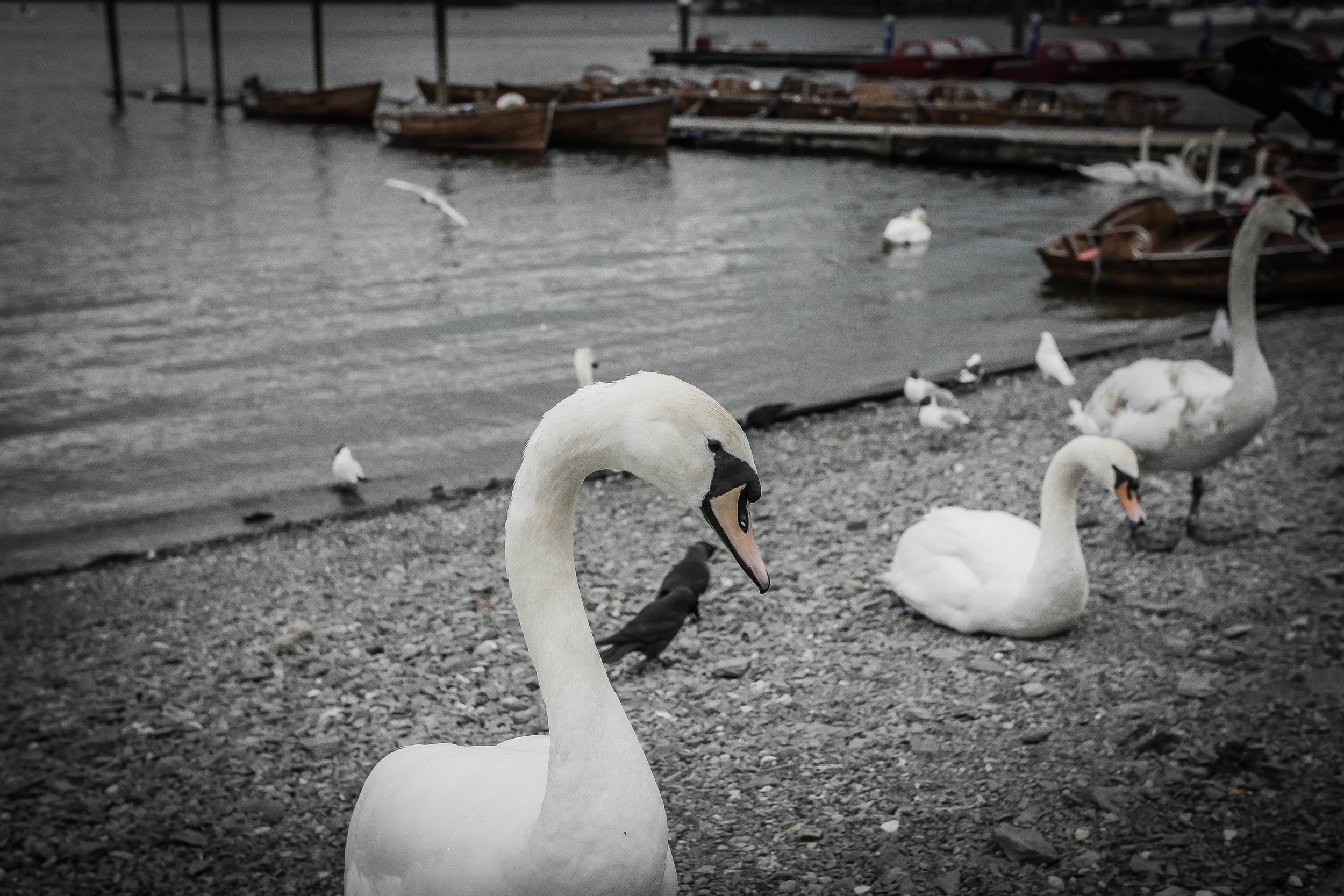 Swans joining the party in Bowness. These are some well-fed birds!