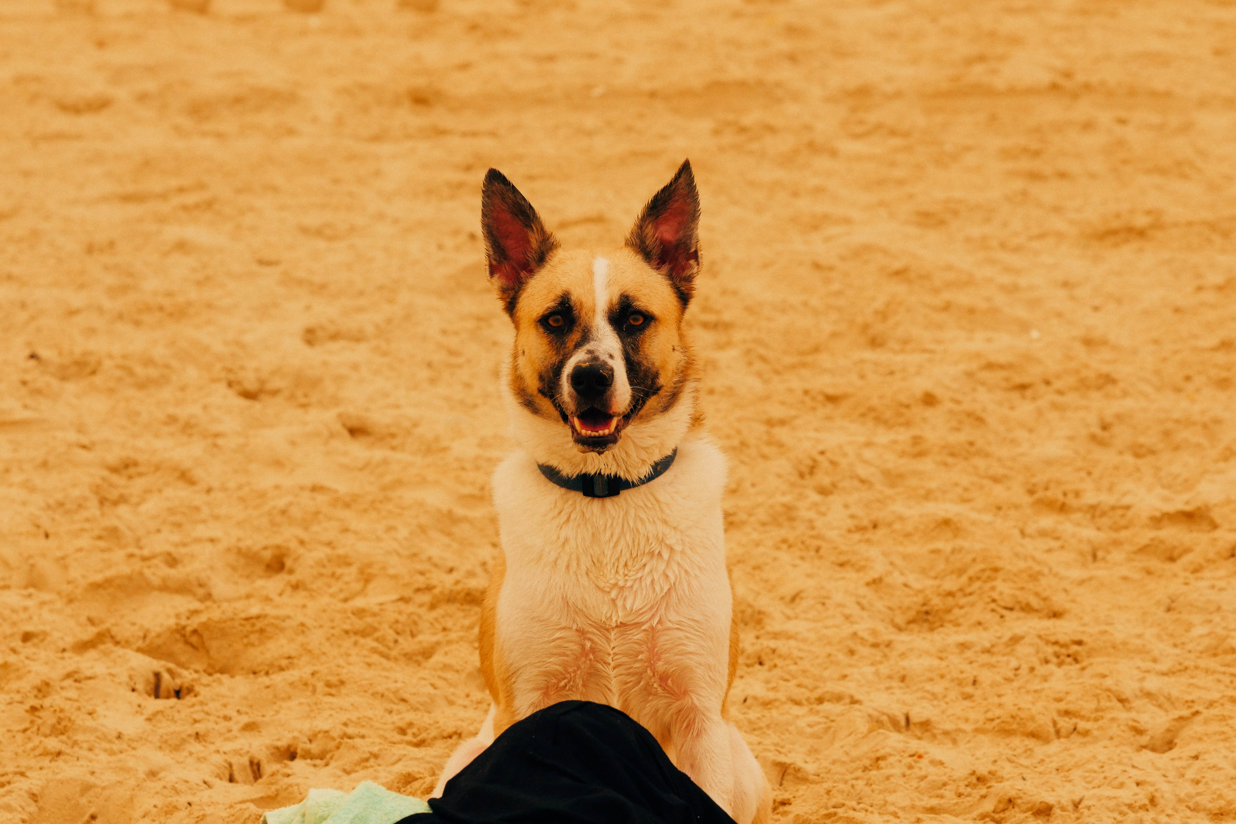 Cameleon dog