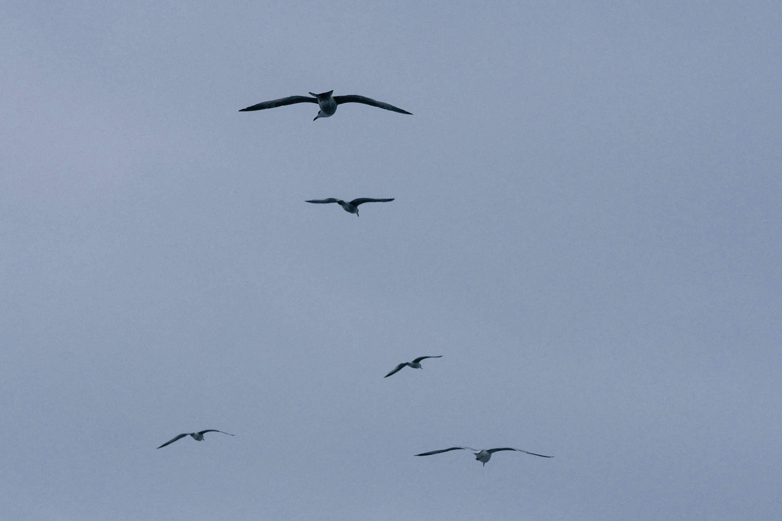 Seagulls in formation