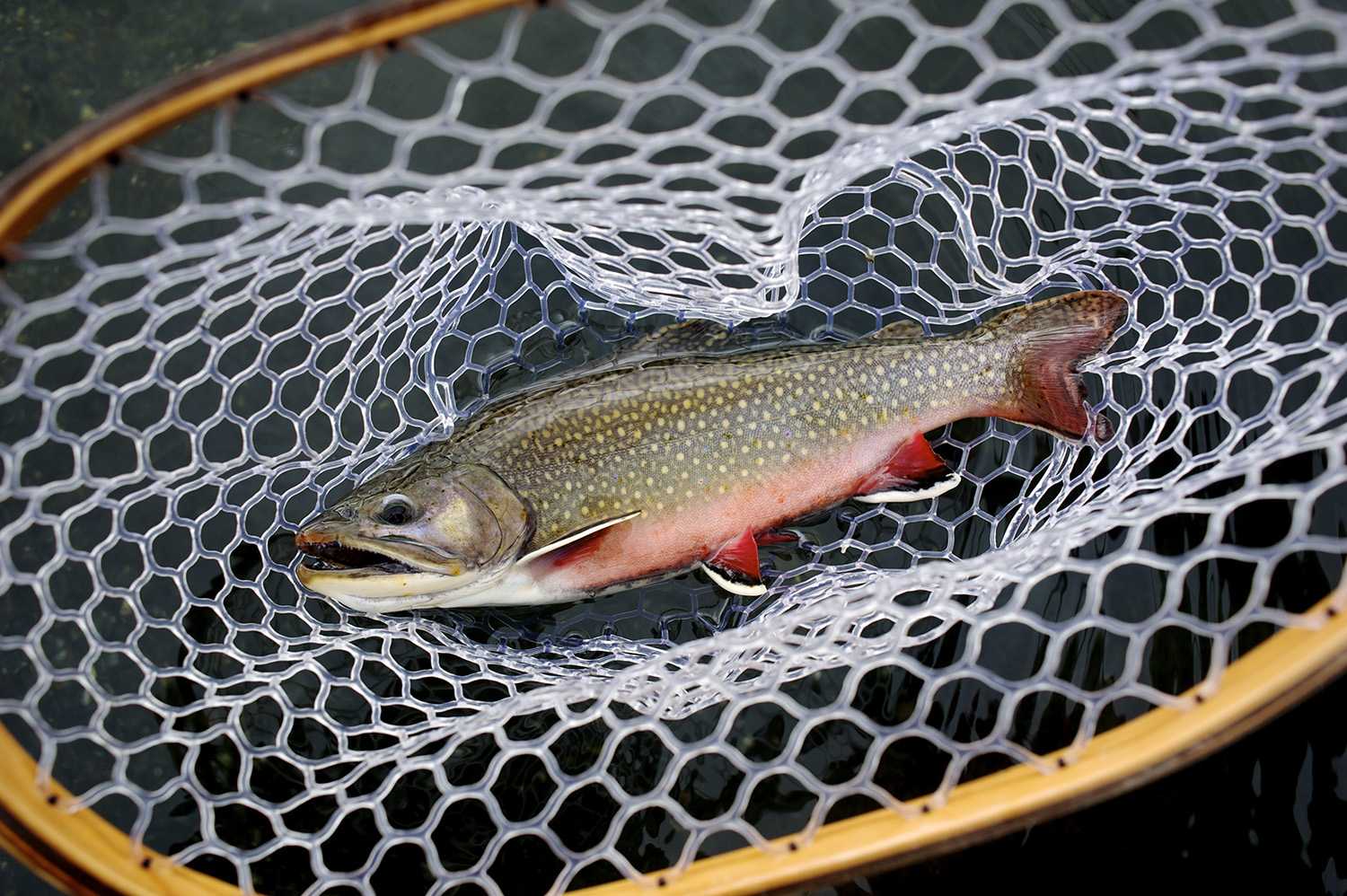 Fall Brook Trout