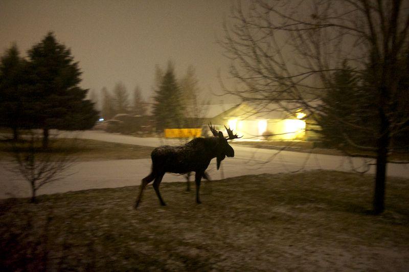 Bull Moose. Hailey, Idaho