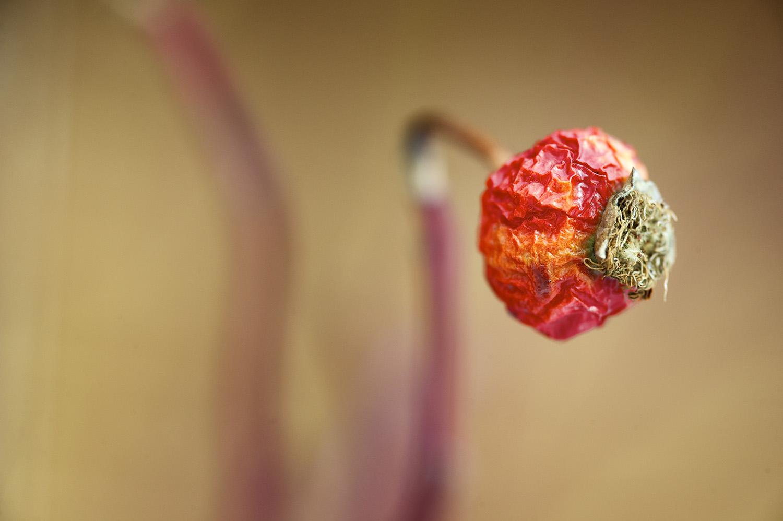 Winter Rose Hip Color