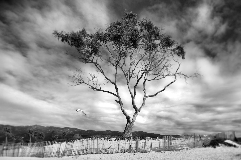 Tree & Fence. Carpinteria State Beach
