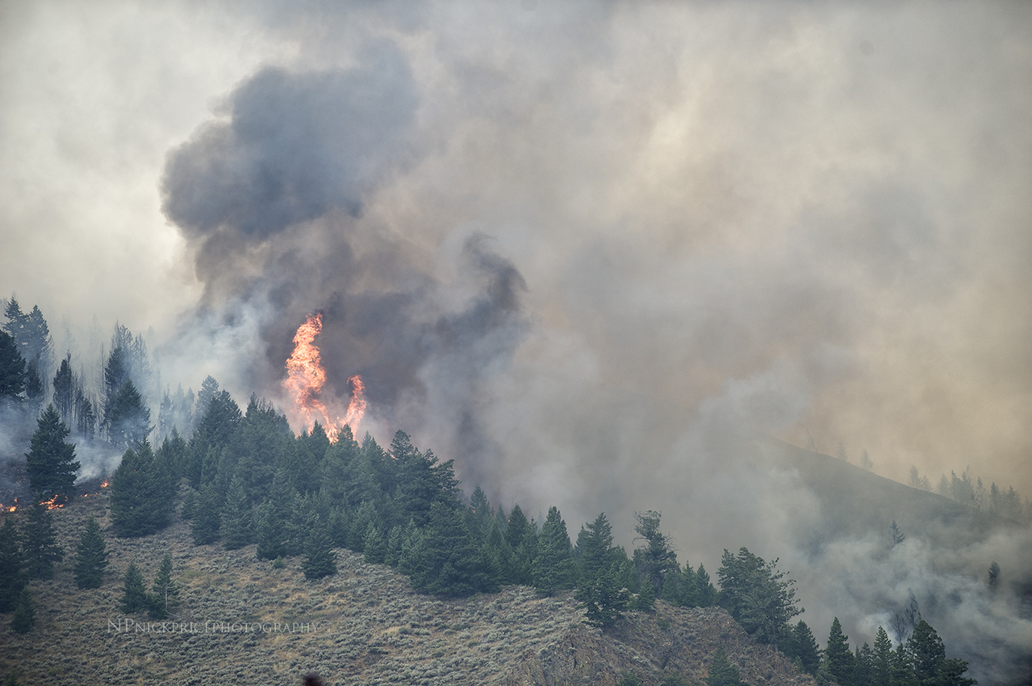 Conifers go up in flames. Hailey, Idaho.