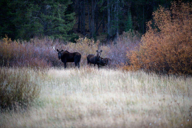 Moose Family.