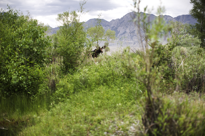 Bull Moose. Big Lost River, Idaho.