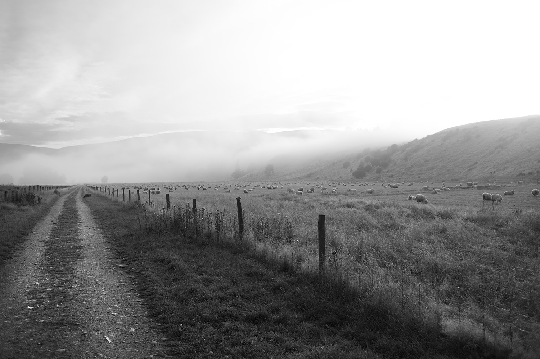 NZ Road Fog Sheep.jpg