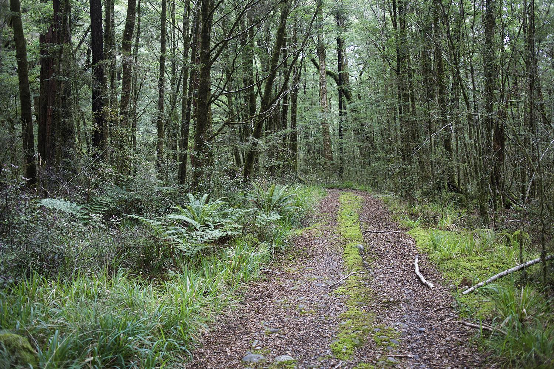 NZ Beech Forest Dirt Road.jpg