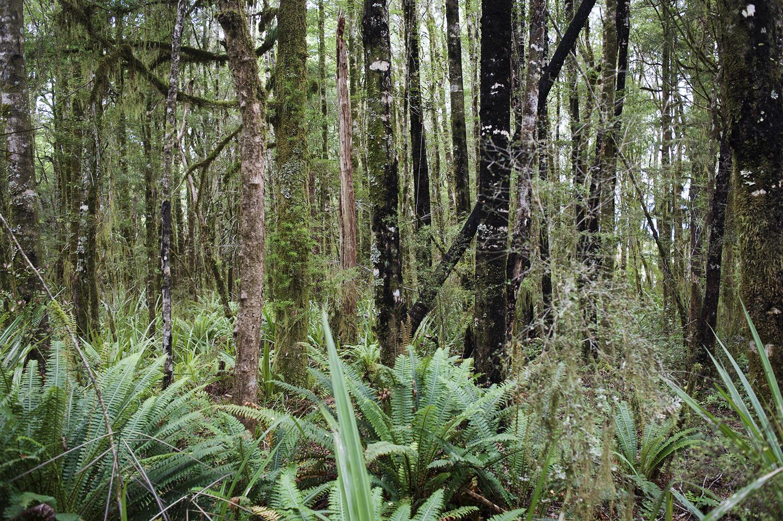NZ Beech Forest II.jpg