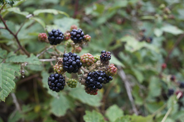 NZ Blackberries.jpg