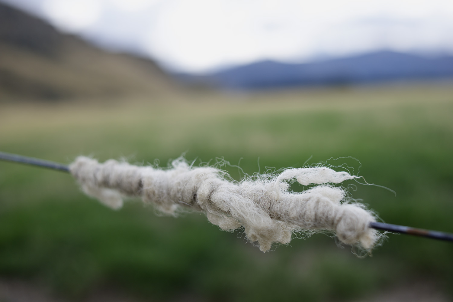 NZ Sheep Wool Close Up.jpg