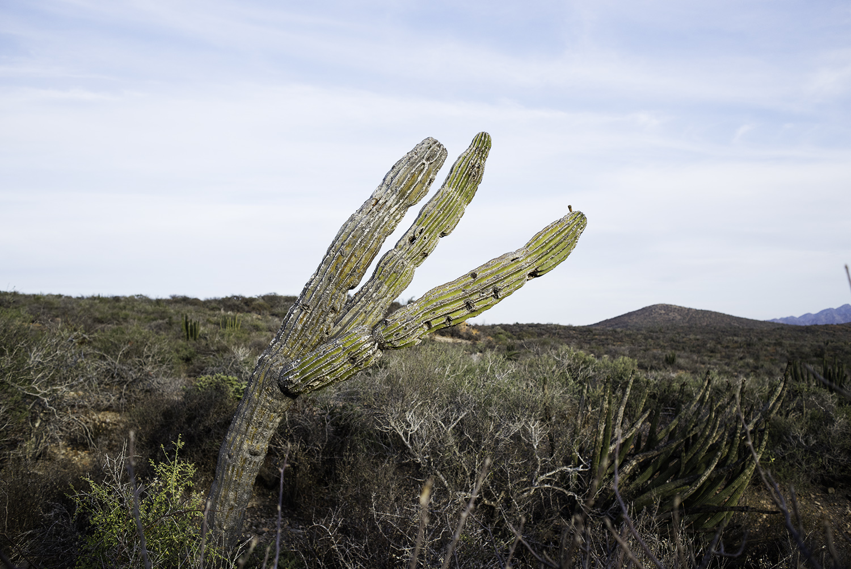 baja cactus 1.jpg