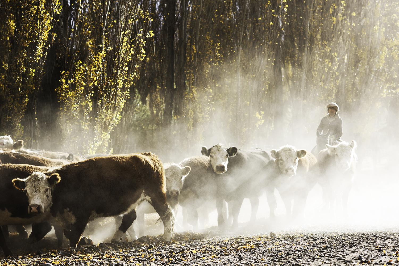 Gaucho & Cattle