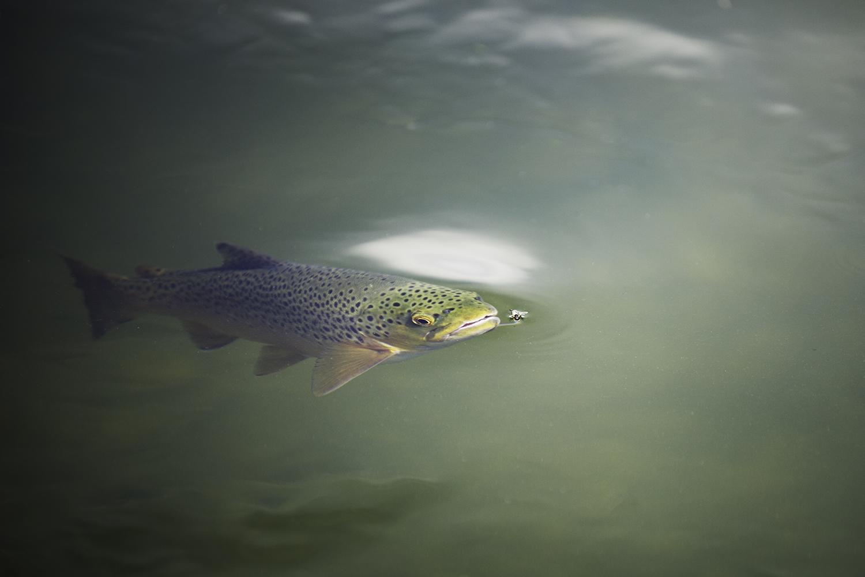 silver-creek-rising-brown-trout.jpeg