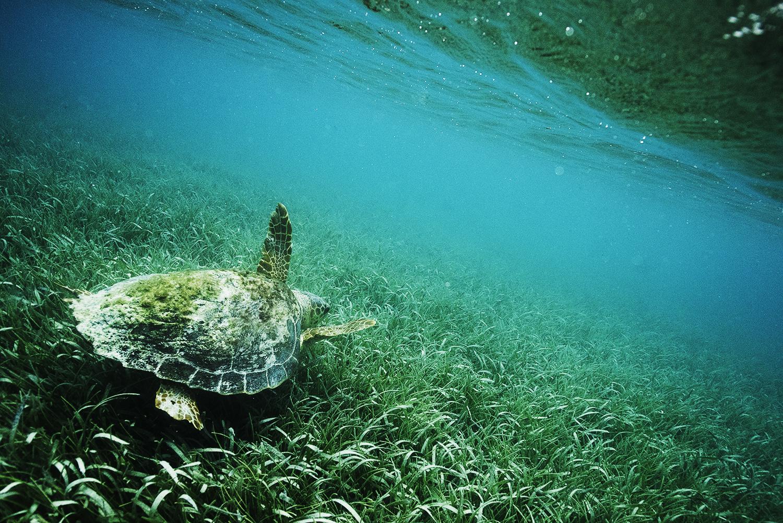 sea turtle underwater honduras.jpg