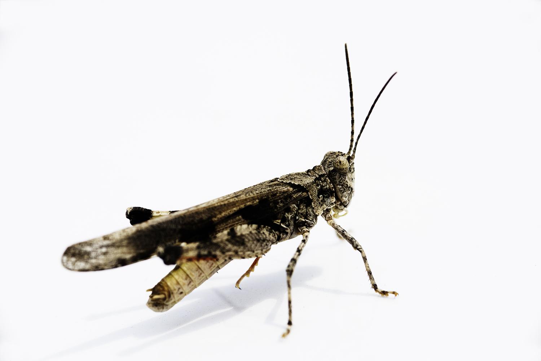 Grasshopper. Silver Creek, Idaho. 2018