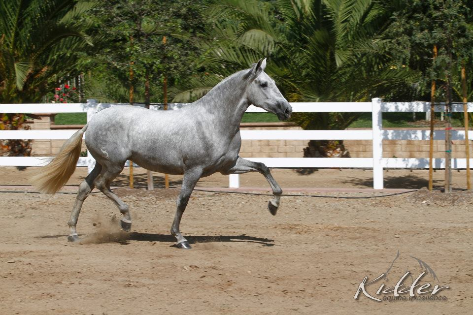 Venecia SCS (Genil-MAC x Fantasia Del C) at 3 years old.