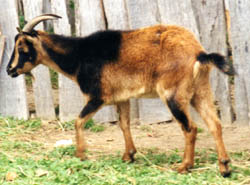 Goats began arriving in Plymouth in 1623.