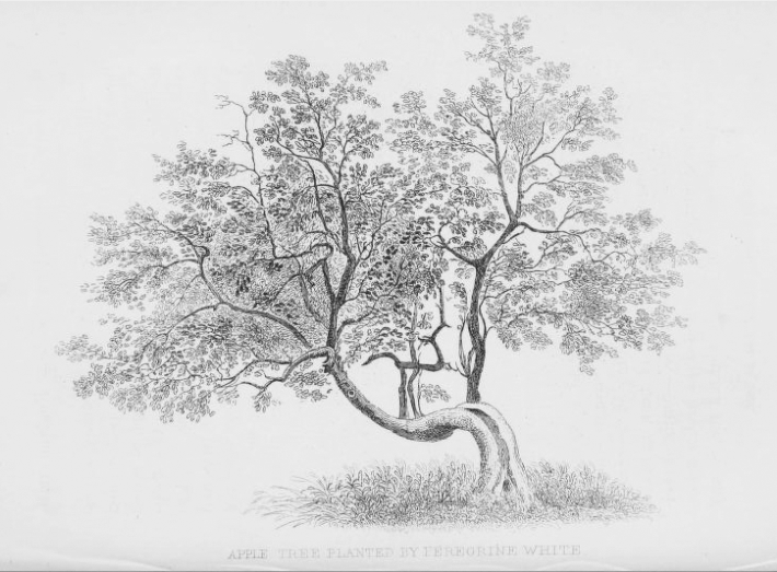 "An drawing from about 1846 of an apple tree said to have been planted by Peregrine White on his property in Marshfield.  By 1851, only the ""right hand branch"" was still standing, the rest had decayed and was cut away.  The shoot was reportedly still standing in 1901 but had died by 1914."