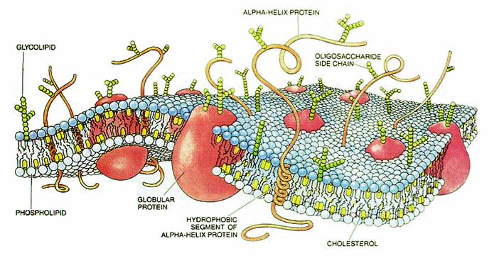 Diagram of Cell Membrane, including the phospholipid bi-layer and membrane proteins.