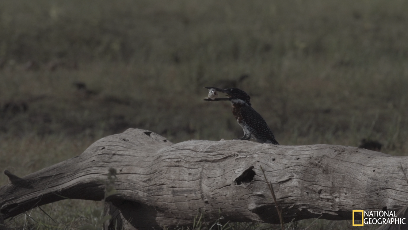 Giant Kingfisher moments after catching a fiish (Movie still)