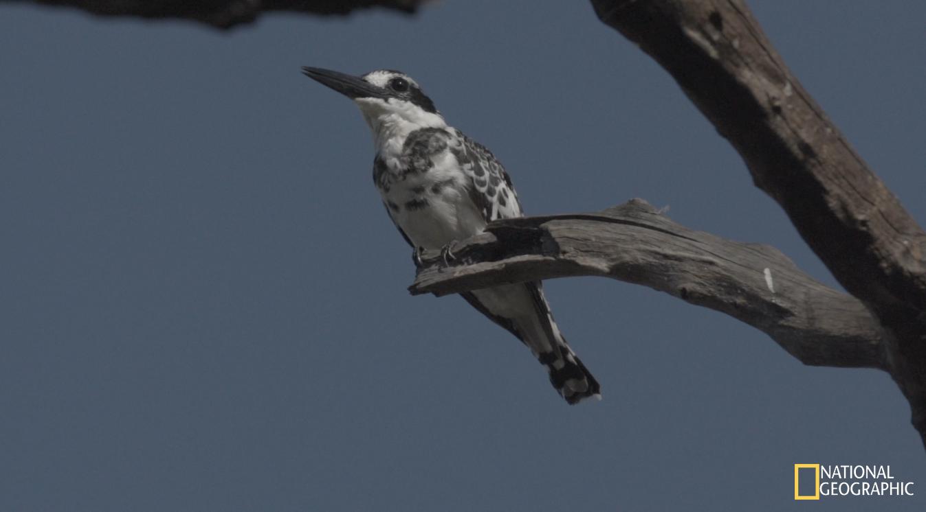 Pied Kingfisher(Movie still)