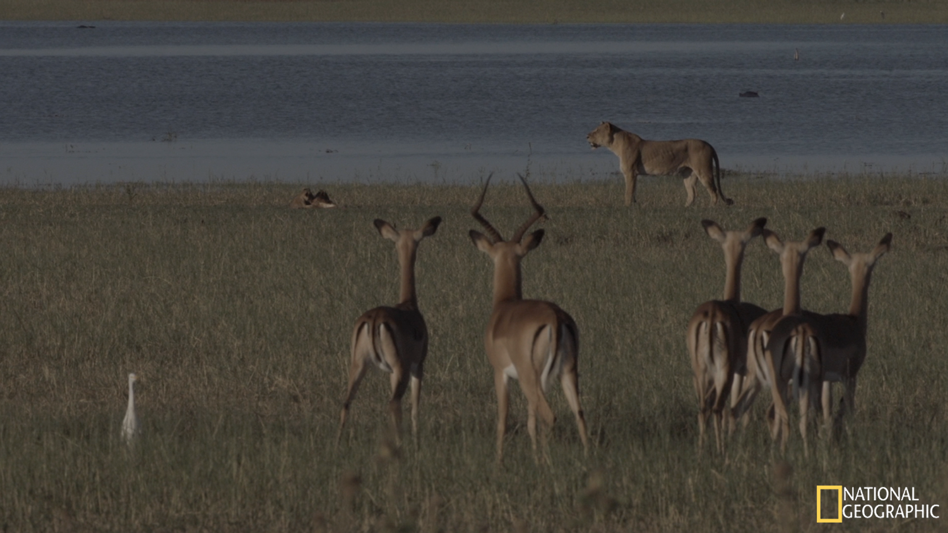 Movie Still - Impala vigilant to mother and cubs