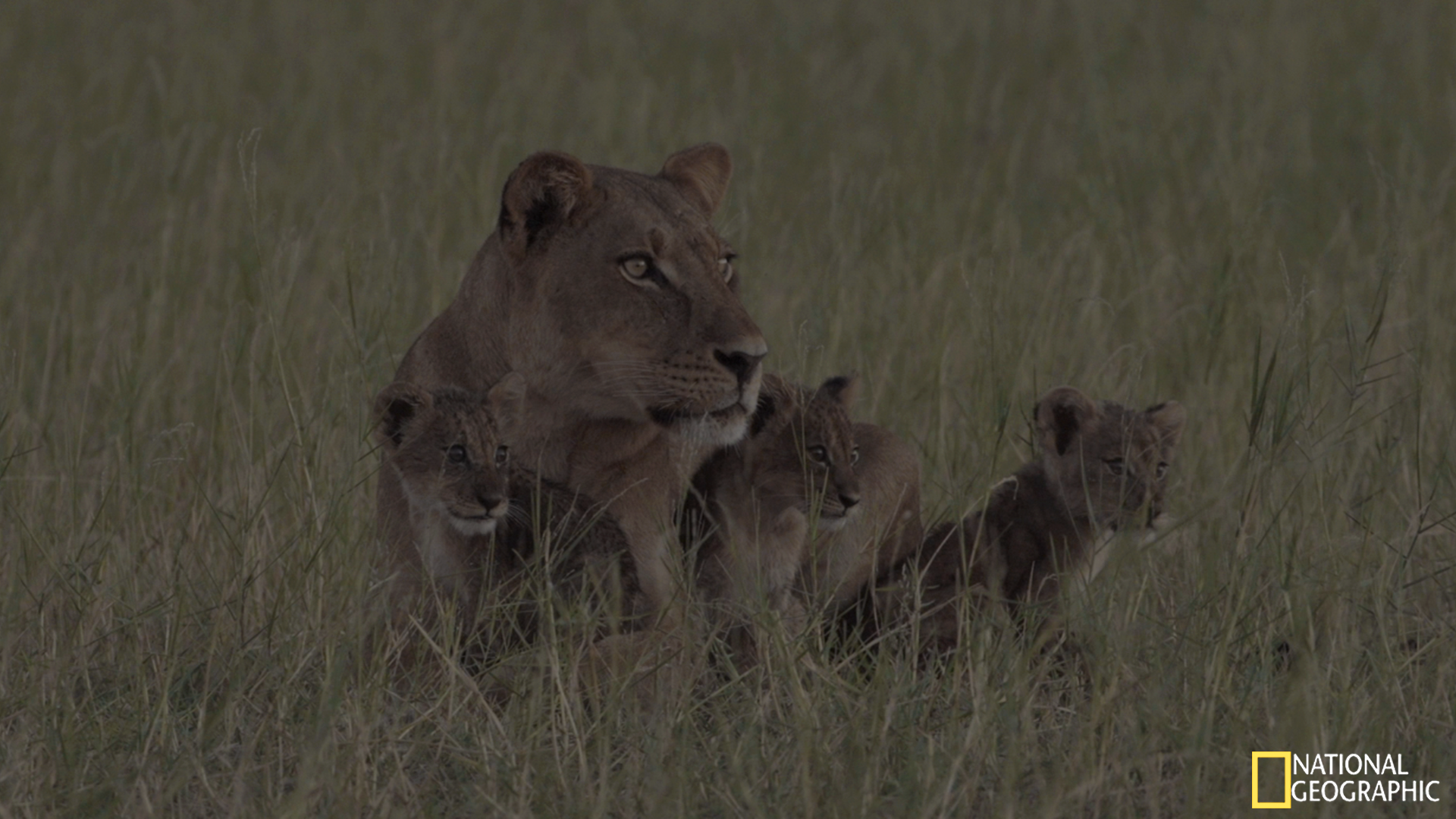 Movie Still - F109 and her young male and two females cubs scanning the shoreline