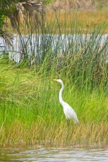 Crane in a marsh