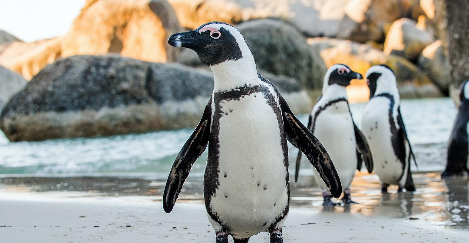 african-penguin-1550x804.jpg
