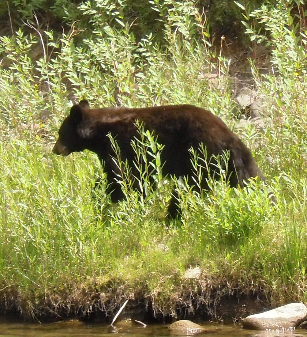Bear on the Colorado River