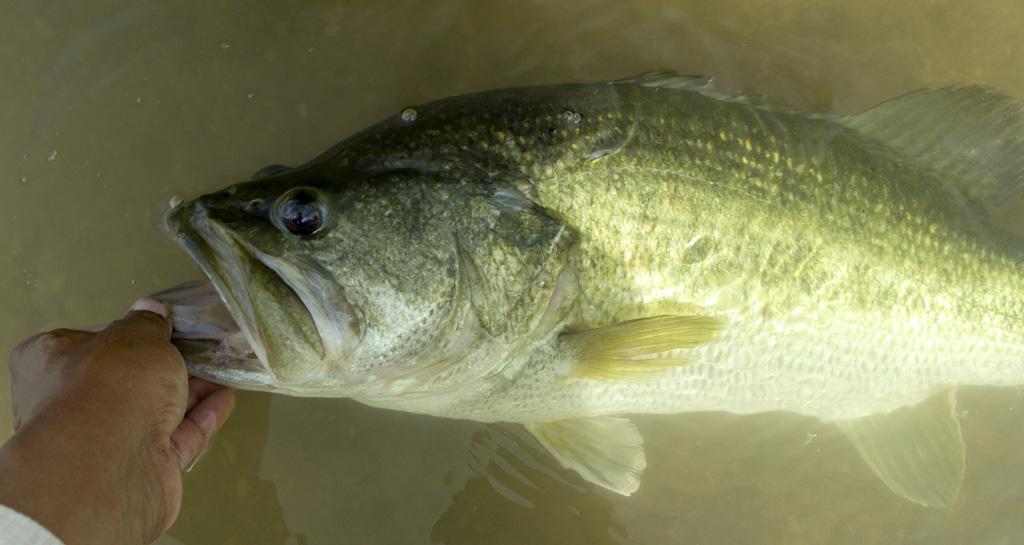 8.5 Pound Colorado River Bass