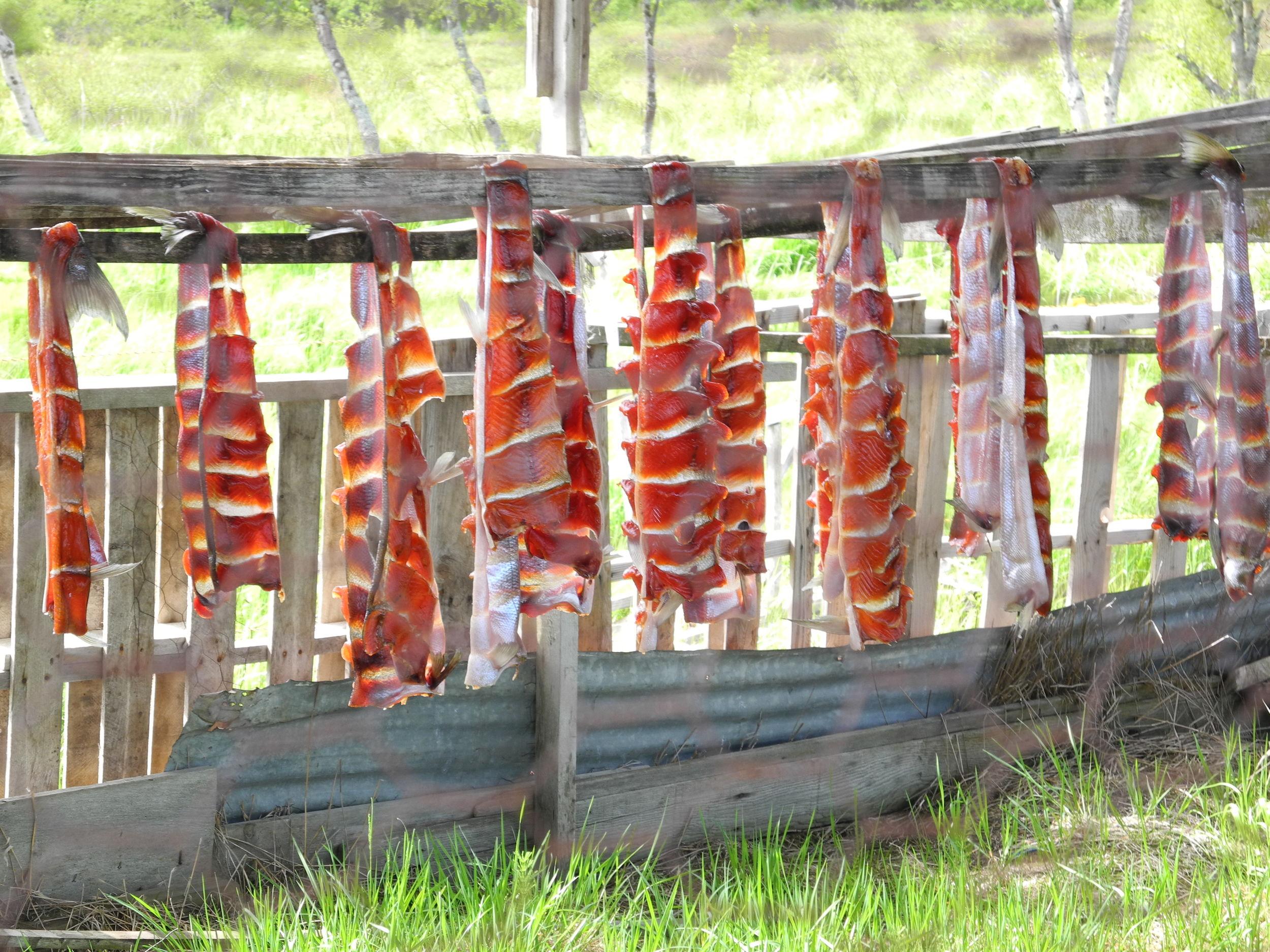 Fresh salmon on the drying rack