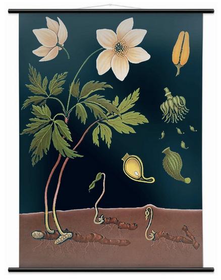 Anemone Buttercup
