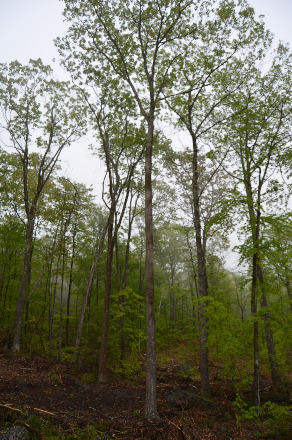 - This opening has been created so these Oak Trees will have room to grow. When they are mature, they will produce an abundance of acorns for wildlife to feed on.