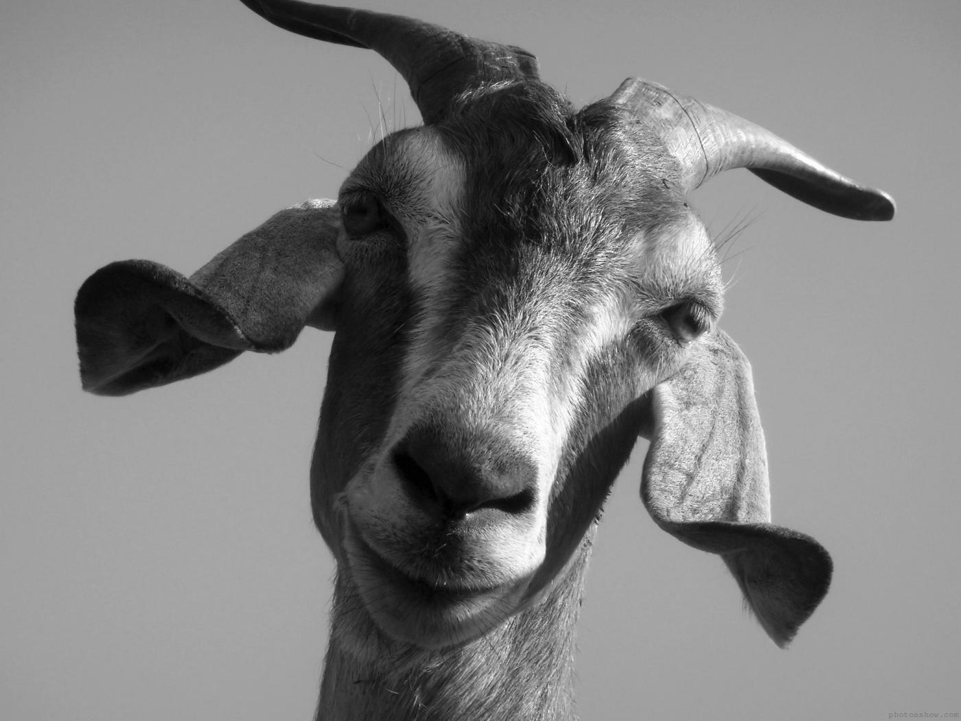 goat-domestic-free-hd-images-129584.jpg